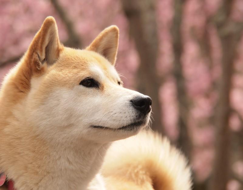 柴犬 ドッグフード ランキング