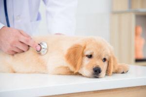 犬 肝臓病