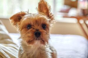 犬 外耳炎 耳